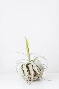 Living Fresh - Xerographica Airplant