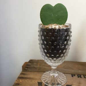 Living Fresh - Heart Hoya Plant