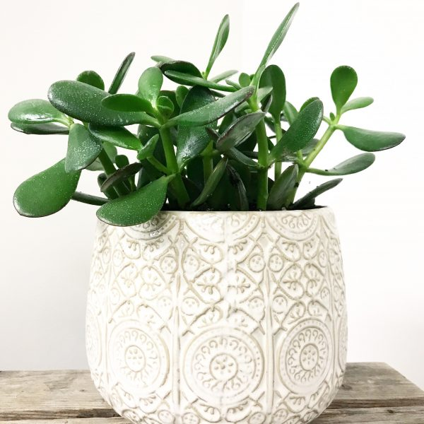 Jade Plant in Cable Knit Pot