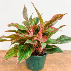 Living Fresh Flower and Plant Studio - Aglaonema Red Siam