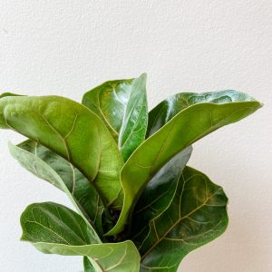 Living Fresh Flower and Plant Studio - Fiddleleaf Fig