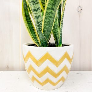 Living Fresh Flower and Plant Studio - Yellow Chevron with Snake Plant
