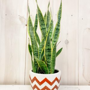 Rusty Chevron with Snake Plant