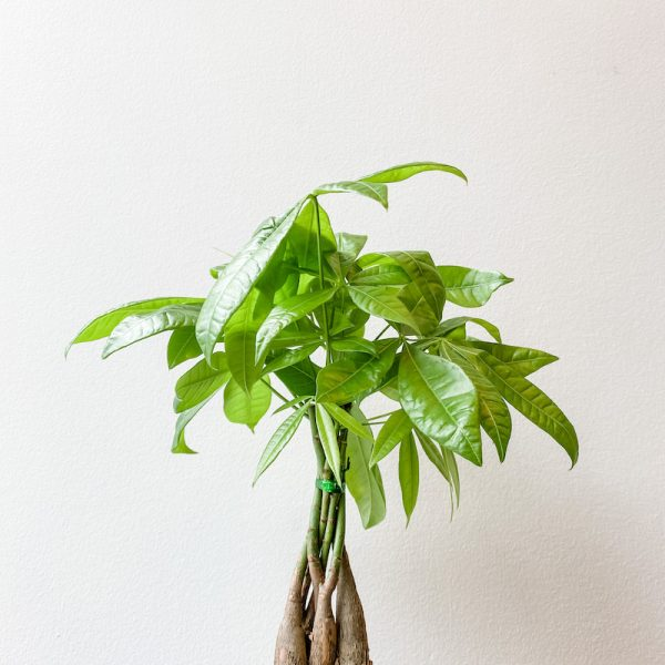 Living Fresh Flower and Plant Studio - Money Tree
