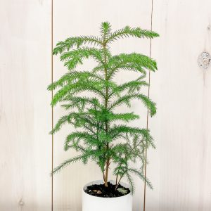 Living Fresh Flower and Plant Studio - Norfolk Pine in White Pot