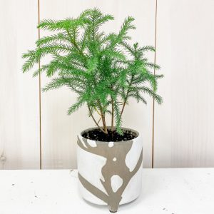 Living Fresh Flower and Plant Studio - Norfolk Pine in Sprig Pot
