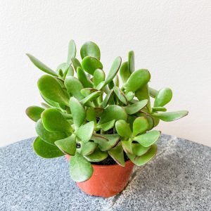 "Living Fresh - Jade Plant 4"" Growers Pot"