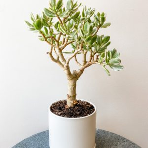 Living Fresh - Variegated Jade Plant in White Pot