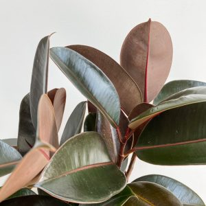 Living Fresh Flower and Plant Studio - Rubber Plant