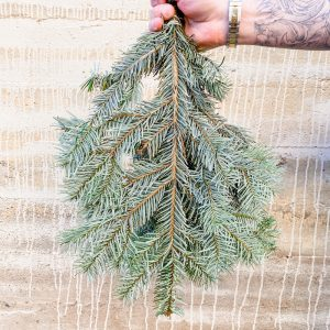 Living Fresh Flower and Plant Studio - Fresh Greens - Silver Fir Bough