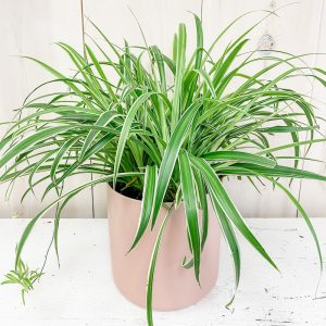 Living Fresh Flower and Plant Studio - Spider Plant in Pink Pot