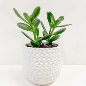 Living Fresh Flower and Plant Studio - Jade Plant in White Dot Pot
