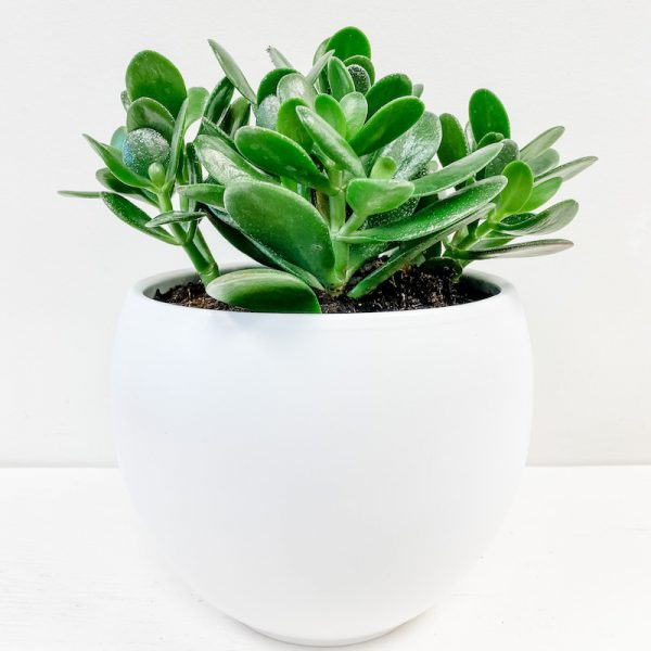 Living Fresh Flower and Plant Studio - Jade Plant in White Pot