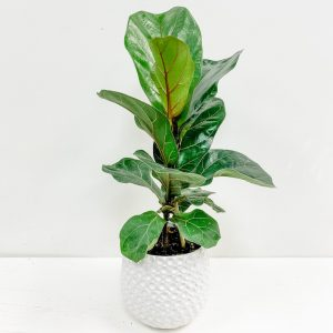 Living Fresh Flower and Plant Studio - Fiddleleaf Fig in White Dot Pot