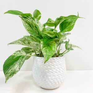 Living Fresh Flower and Plant Studio - Marble Queen Pothos in White Dot Pot