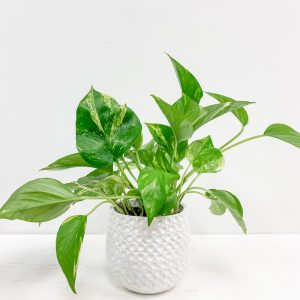 Living Fresh Flower and Plant Studio - Golden Pothos in White Dot Pot
