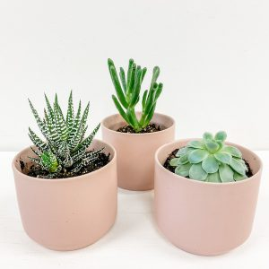 xLiving Fresh Flower and Plant Studio - Trio of Succulents in Pink Kendall Pots