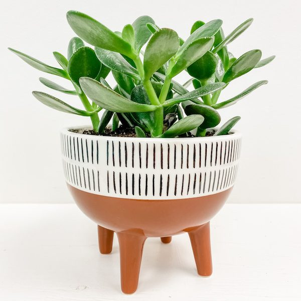 Living Fresh Flower and Plant Studio - Jade in Footed Pot