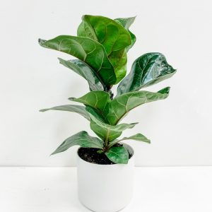 Living Fresh Flower and Plant Studio - Fiddleleaf Fig in White Pot