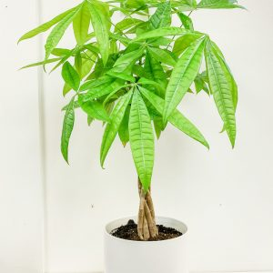 Living Fresh Flower and Plant Studio - Money Tree in White Pot