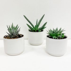 Living Fresh Flower and Plant Studio - Trio of Succulents in White Pots