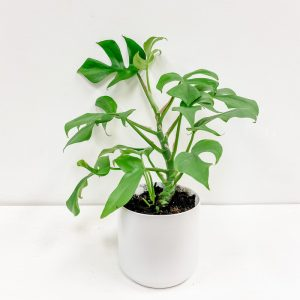 Living Fresh Flower and Plant Studio - Rhaphidophora Tetrasperma in White Pot