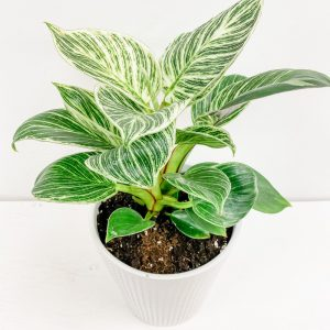 Living Fresh Flower and Plant Studio - Birkin Philodendron